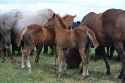 Baby colts at the Hirschy Ranch