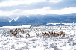 Elk-on-the-Hirschy-Ranch