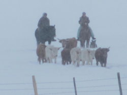 Gathering-the-roping-steers-in-a-typical-Big-Hole-snow-storm.